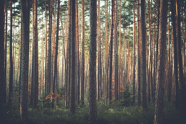 borovice v lese