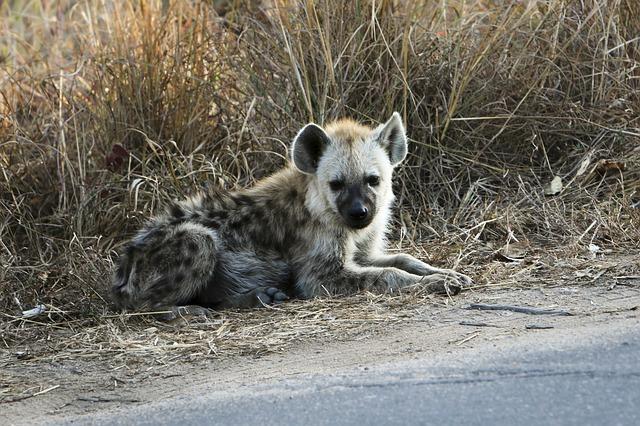 hyena u silnice