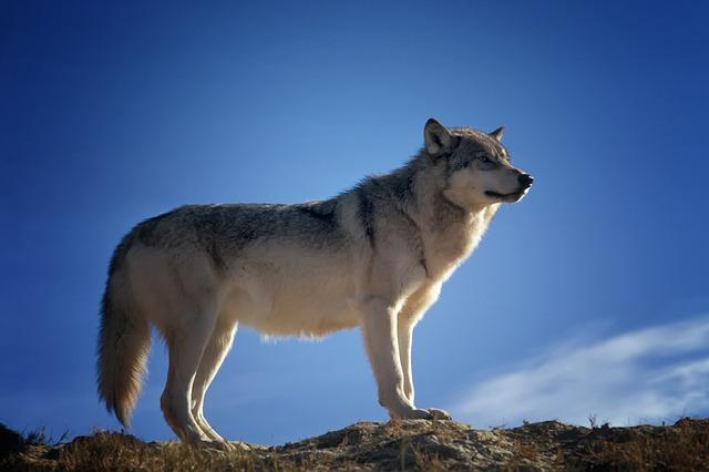 osamnělý vlk